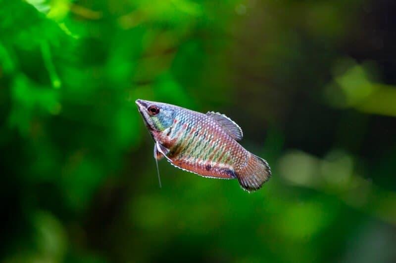 Un pez laberinto gourami