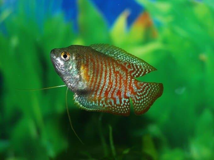 Un pez gurami que se alimenta de caracoles