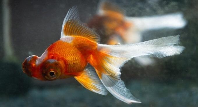 Un pez dorado en busca de un caracol para comer.