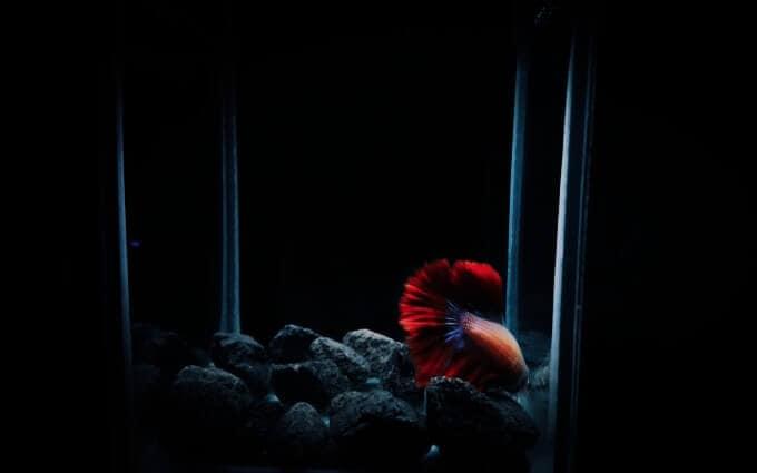 Un pez Betta durmiendo