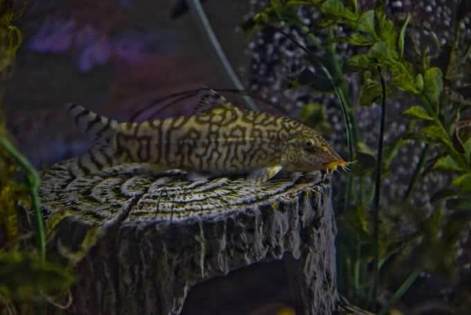 Un Yoyo Loach buscando caracoles en el acuario
