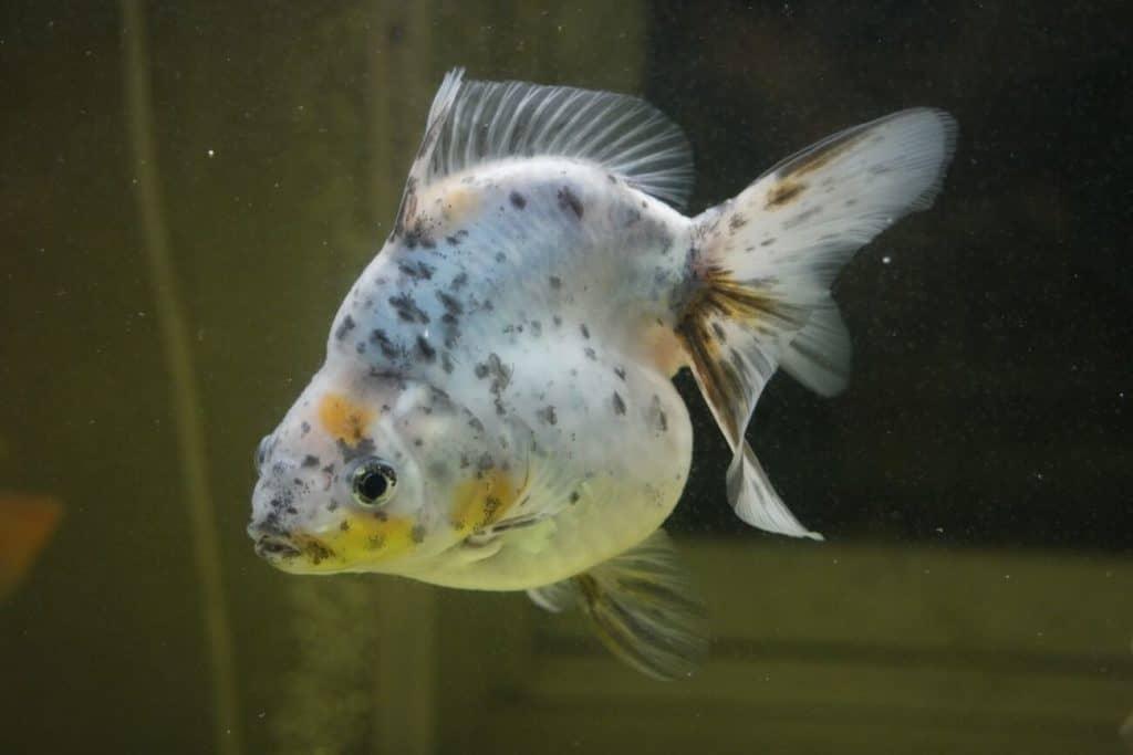 Un pez dorado en las últimas etapas de volverse blanco.