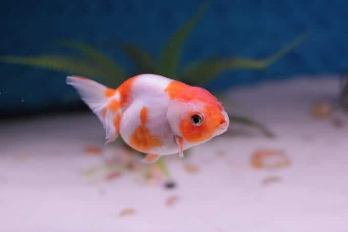 Un pez dorado elegante con una vida útil más corta