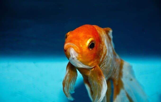 Un pez dorado nadando en un tanque grande con agua limpia
