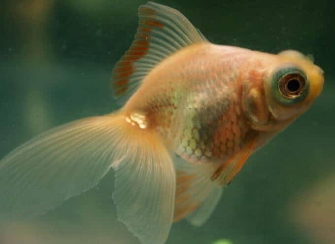 Un pez dorado que se vuelve más blanco y pálido debido a las condiciones de iluminación.