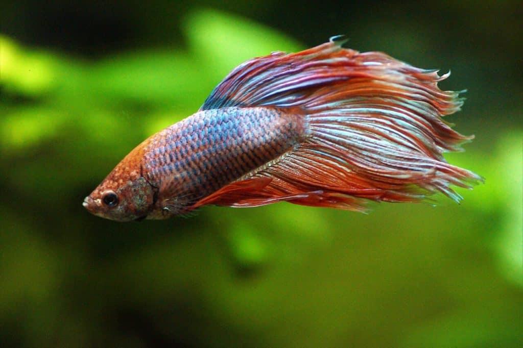 ¿Cuánto tiempo viven los peces betta?