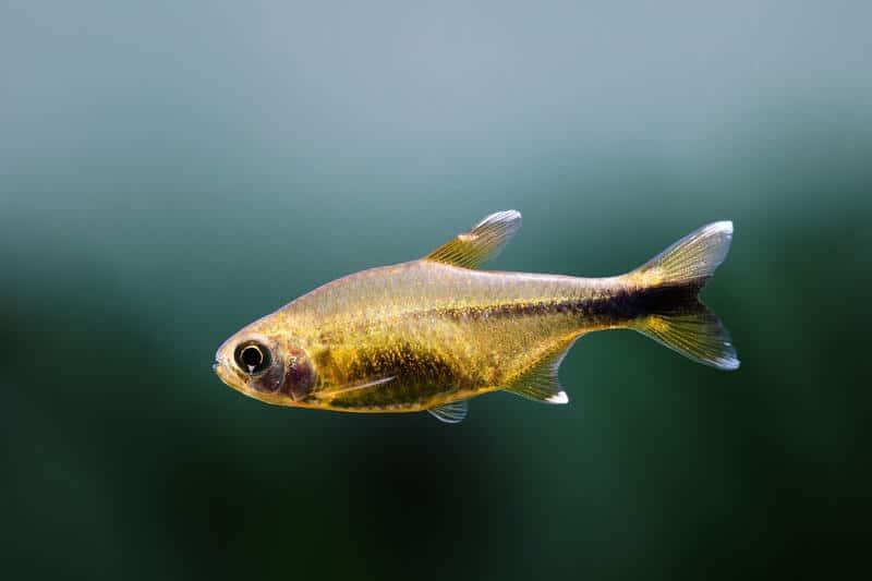 Un tetra de punta plateada nadando en un acuario de agua dulce
