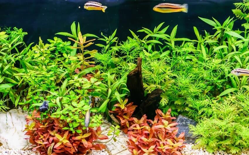 Una planta de acuario Rotala indica