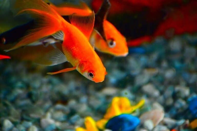 Dos peces de colores se alimentan con suficiente frecuencia