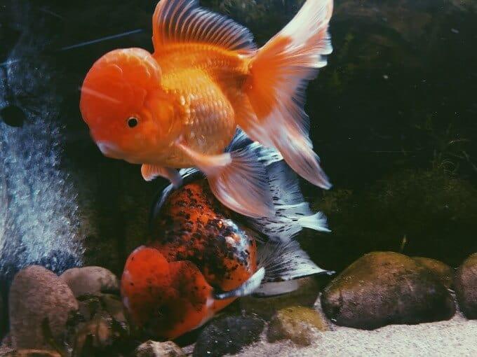 Un pez dorado que muestra el dominio de los alimentos sobre otro