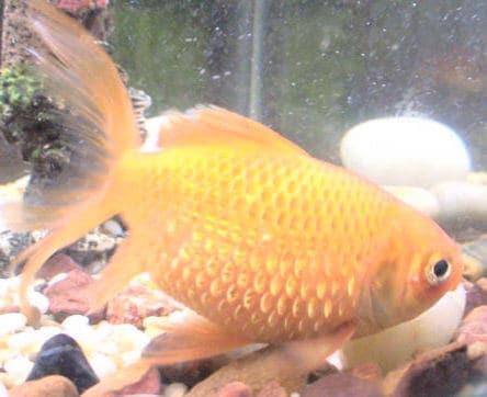 Un pez dorado con hidropesía.