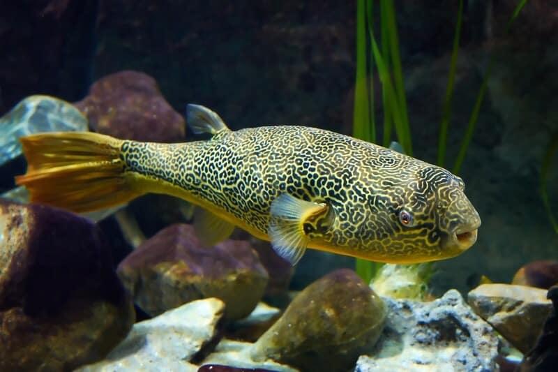 Un pez globo Mbu en un tanque de agua dulce