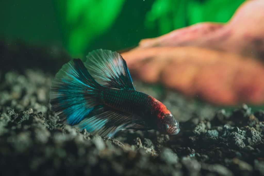 Un pez beta nadando en una pecera ligeramente nublada