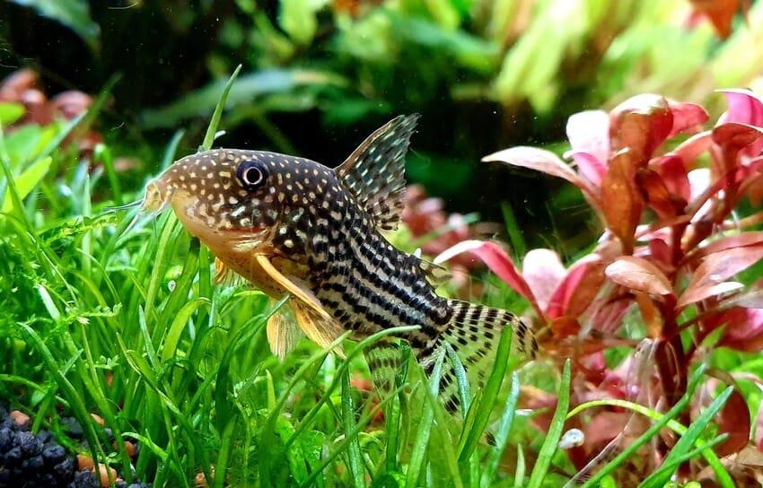 Un curioso Sterbai Cory en el fondo de un acuario de agua dulce