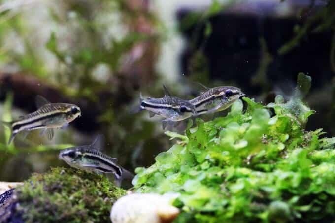 Pigmeo Cory nadando junto a plantas