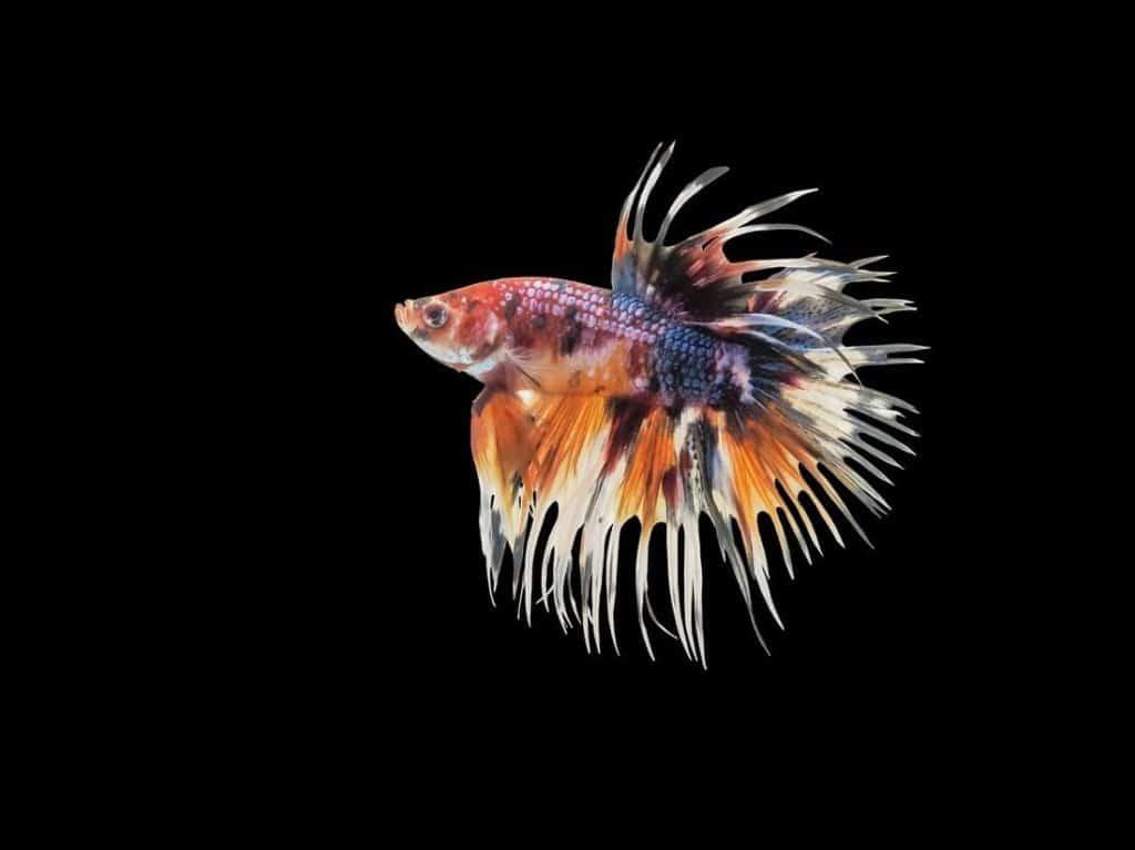 Un Pez Betta Corona nadando en un tanque de agua dulce