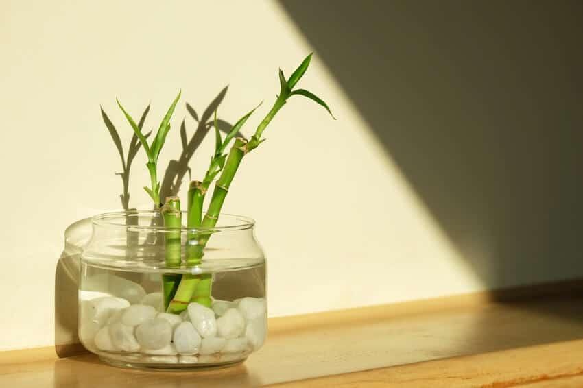 Planta de bambú de la suerte antes de colocarla en un acuario