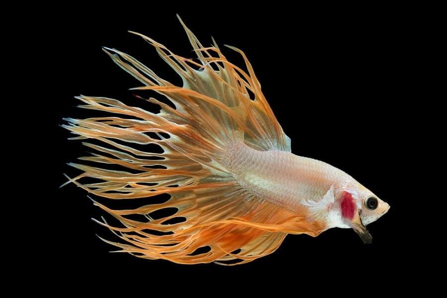 Un pez Betta de cola de cuervo naranja