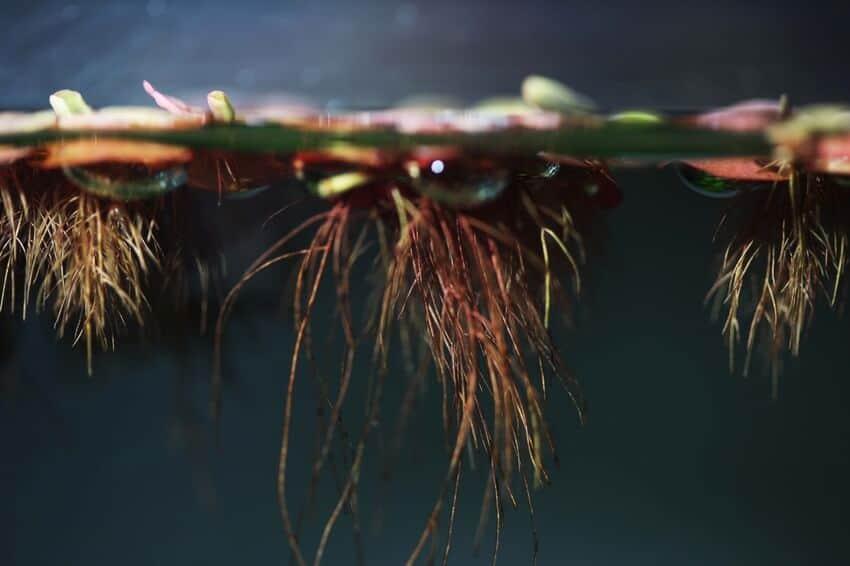 Planta flotante de raíz roja en un tanque de agua dulce